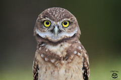 Little One (Megan Lorenz) Tags: travel wild bird nature florida wildlife owl avian birdofprey wildanimals burrowingowl 2015 owlet mlorenz meganlorenz