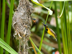 20160401-EM1X5025 (shutterblades) Tags: bird feeding nesting nests sunbirds gardensbythebay olympusem1 olympusmzuiko300mmf4pro