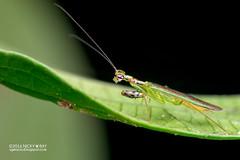 Mantis (Mantodea) - DSC_6611 (nickybay) Tags: macro green mantis basin malaysia sabah mantodea maliau maliaubasin