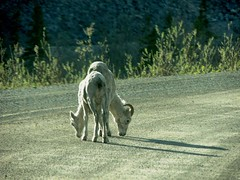 Dall Sheep on the Dempster Highway (Pete Read) Tags: highway sheep dempster dall