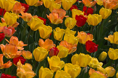 Bright and sassy, spring tulips! (d.cobb56) Tags: flower nature colors field yellow garden outdoors spring tulips outdoor newengland flowerbed tulip towerhillbotanical