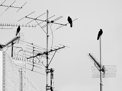 antenna crows (spinster cardigan) Tags: news mystery freedom tv wire community spam secret surveillance bad email communication creativecommons spy murder data reality network bigbrother crows raven society signal information encryption citizen spying privacy rumor grapevine omen opinion watchers gossip supernatural disappearance prophecy dystopia rumours informers spinstercardigan