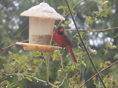 birds in Missouri (just me julie) Tags: red plant birds cardinal birdfeeder missouri fowl