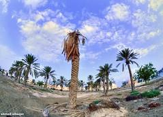 End of Raya Garden .. Bahrain (Ahmed Albaqer  ) Tags: tree garden lens landscape palm raya datepalm bahraini 2016 2015 nikoncamera  samyang rayya    dairvillagebahrain  nikond750