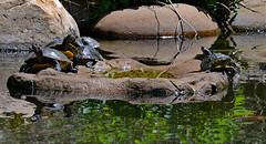 Turtle Time! (BKHagar *Kim*) Tags: reflection water shop al pond huntsville turtle alabama turtles madisoncounty sliders sunning acrossthepond bkhagar