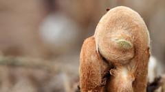 Unfolding (Nephentes Phinena) Tags: fern spring farn springtime frhling arboretumellerhoop nikond300s