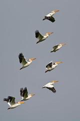 American White Pelicans at Roberts Bank (kenyoung3) Tags: americanwhitepelican