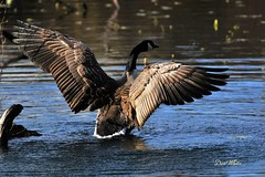 "wings... (don.white55 That's wild...) Tags: bird goose tha wildwoodpark spreadlegs canadagoosebrantacanadensis wildwoodlake harrisburgpennsylvania donpwhitephotography flickrdonwhite55 ""canonflickraward"