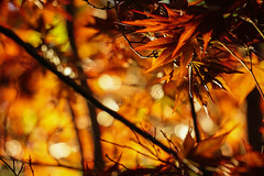 (Light Echoes) Tags: plant tree spring maple dof bokeh outdoor pennsylvania sony depthoffield april redmaple 2016 a6000