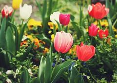 Spring Flower Garden (Jon-F, themachine) Tags: flowers plants plant flower nature japan asian outdoors flora asia olympus nagoya  nippon japo oriental  orient  fareast  aichi nihon  omd    chubu japn  2016 m43  mft   mirrorless  chuubu   micro43 microfourthirds  ft xapn jonfu  mirrorlesscamera snapseed   em5ii em5markii