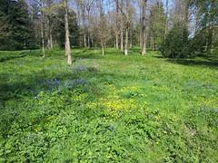 The Bluebells of Linford Wood (Doran_Eirok) Tags: wood flowers urban flower bluebells woodland milton keynes services ecosystem linford