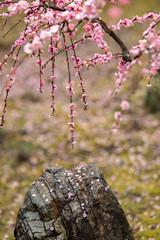 20160229-103404_5K_80 (pya) Tags: kyoto 京都 camellia plumblossoms jonangu 梅花 茶花 城南宮 椿花 weepingplumblossoms