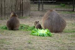 Capibara - Hydrochoerus hydrochaeris - Capybara (MrTDiddy) Tags: baby mammal planckendael capybara capibara dierenpark hydrochoerus hydrochaeris dierenparkplanckendael zoogdir