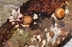 Little orange ball cream colour Star fungus Geastrum sp Geastraceae Airlie Beach rainforest P1390394 (Steve & Alison1) Tags: beach star rainforest little fungus geastrum airlie hypoxylon arfp geastraceae geastrumsp arffungi qrfp brownarffungi tropicalarf