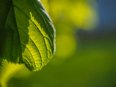 spring is in the air (Kristoffersonschach) Tags: green leaf olympus blatt omd mft