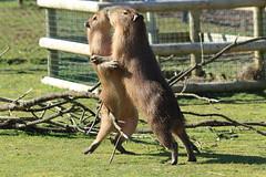 """Are you leading in this dance?"" (charliejb) Tags: mammal zoo rodent farm wildlife ark mammals capybara 2016 wraxall capybaras farmnoahs"