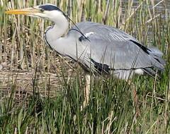 Looking for supper (robbie20161) Tags: water birds animals wales reeds outdoors countryside wildlife wetlands ardeacinerea cardigan greyheron