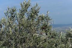 40080094 (wolfgangkaehler) Tags: france french europe european olive olives provence luberon gordes olivetree vaucluse 2016 provencealpescotedazur