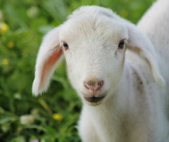 Baby lamb (maria xenou - photodromos) Tags: life baby white cute green wool nature lamp beautiful smile animal season spring soft moments mediterranean sweet natur softness joy young meadow wiese happiness greece lamb lovely griechenland leben tier frhling lcheln wolle lamm flauschig mittelmeer momente tierwelt lmmchen  tierportrait