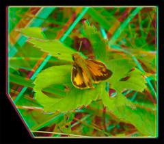 Male Zabulon Skipper, Poanes Zabulon - Anaglyph 3D (DarkOnus) Tags: macro male closeup butterfly insect lumix stereogram 3d pennsylvania skipper anaglyph panasonic stereo stereography buckscounty poanes zabulon dmcfz35 darkonus
