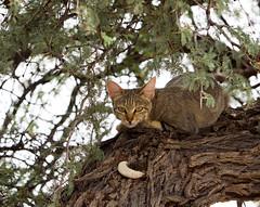 I'm looking down at you! (jaffles) Tags: park holiday nature southafrica wildlife natur olympus safari kalahari ktp südafrika transfrontier awc wildkatze kgalagadi falbkatze africanwildcat