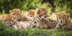 Almost Everyone (helenehoffman) Tags: africa baby nature animal mammal feline babies wildlife bigcat cheetah cubs sandiegozoo safaripark carnivore acinonyxjubatus felidae specanimal conservationstatusvulnerable