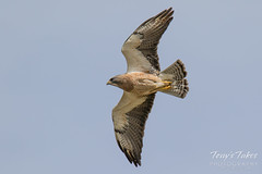 Swainson's Hawk takes a swipe at an owls nest - sequence - 1 of 5
