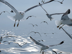 The trail of shining water (chiccadeee) Tags: ocean california blue sea bird birds boat gull gulls western pelagic