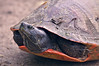 Red-bellied  turtle portrait