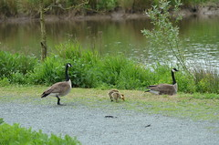 Watching the Kids (Neal D) Tags: bird bc goose gosling canadagoose brantacanadensis abbotsford willbandcreekpark
