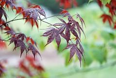 Rainy day maple leaves (JPShen) Tags: red green leaves rain leaf maple rainy