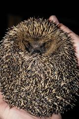 Hedgehog! (Adam Milne) Tags: closeup canon mammal eos endangered spines rare 750d