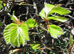 Newly opened beech leaves (wonky knee) Tags: spring shrewsbury beech leafgreen newleaves accordionpleats buchenbltter ukshropshire feuillesdhtre