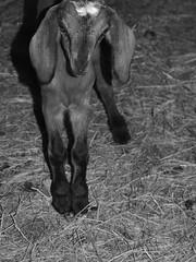 Nubian Kid2 (wrj95) Tags: old baby animal kid farm goat week nubian