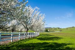 Cherry Blossoms - Fairfield - California - 21 February 2016 (goatlockerguns) Tags: california county usa mountains west green nature grass cherry coast view natural unitedstatesofamerica vacaville blossoms bayarea solano rollinghills fairfield vaca