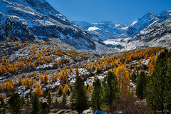 Morteratsch (Daniel.Peter) Tags: schnee snow yellow gold schweiz switzerland glacier gelb gletscher larch larches engadin lrche morteratsch berninagruppe berninarange berninamassiv lrchen dpe3x