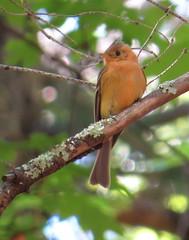 Tufted Flycatcher (Michael Woodruff) Tags: arizona canyon april tufted ramsey flycatcher 2016 tuftedflycatcher mitrephanesphaeocercus mitrephanes phaeocercus