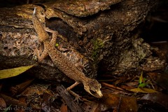 Grace in the Rainforest (Cameron de Jong) Tags: nature animal creek rainforest floor reptile australia queensland gecko chameleon davies laevis carphodactylus carphodactylidae