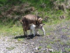Milka et Milune (Grand-Papp, charrette...) Tags: farm goats ferme auvergne cabras granja chvre massifcentral chevreaux hauteloire margeride chevrettes chabre hautesterres lobe marjarida chabrit