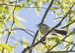 Blue Gray Gnatcatcher (swmartz) Tags: nature outdoors newjersey nikon snake wildlife april ni trenton 2016 trentonmarsh