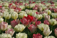 Unforgetable Keukenhof (Natali Antonovich) Tags: park flowers holland tulips tradition keukenhof unforgetablekeukenhof