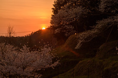 37Butsuryuji Temple (anglo10) Tags: sunset japan cherry temple