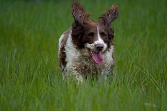 Another trip to the vet !! (Kay Musk) Tags: uk dog pet animal poppy springerspaniel essex nikond3200