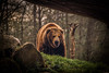 """*Explored* """"The best way of being kind to bears is not to be very close to them."""" (Robert Bauernhansl) Tags: bear trees grass dangerous near stones explore treetrunk glimpse bäume baum approaching bär gefährlich baumstamm nähe nahe explored abigfave lugen"""