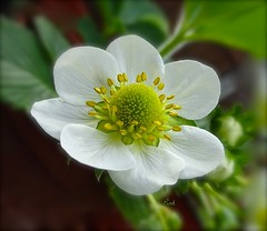 Strawberry Sunday (Pufalump) Tags: blur flower green nature yellow petals strawberry pot greenhouse hues greenly