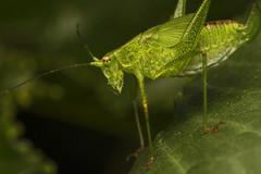Common Katydid :) (Mika Andrianoelison) Tags: macro green nature animal closeup fauna bug insect wildlife madagascar katydid k3 justpentax taxonomy:family=tettigoniidae