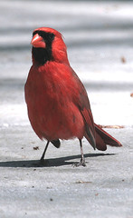 NORTHERN CARDINAL (male) in Staten Island, New York, USA. April, 2016 (Tom Turner - SeaTeamImages / AirTeamImages) Tags: nyc red usa newyork nature crimson scarlet unitedstates cardinal wildlife birding beak statenisland winged bigapple birdwatching avian songbird malecardinal cardinaliscardinalis redbird northerncardinal featheredfriend passerine tomturner cardinalidae commoncardinal granivorous