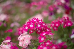 Garden Phlox (Igor Serikba) Tags: pink canon bokeh flowerbed swirl phlox botanicalgarden helios 442 6d
