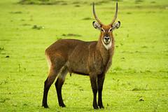 Waterbuck (DrScottA) Tags: africa wild male grass kenya wildlife mara antelope waterbuck maasaimara kobusellipsiprymnus