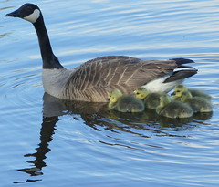 Get out from under my feet! (robbie20161) Tags: water birds animals wales countryside spring wildlife chicks cardigan canadagoose brantacanadensis